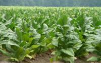 В Крыму идеальный климат для выращивания табака, так нужного в Китае