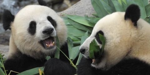 Russo-Chinese Panda Diplomacy Much Better Than Mafia Extortion of Collapsing West