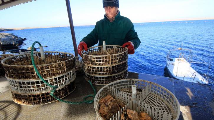 <figcaption>Placing an oyster cage underwater at an oyster and mussel farm on Lake Donuzlav in Crimea, Russia. Source: Alexei Pavlishak/TASS</figcaption>