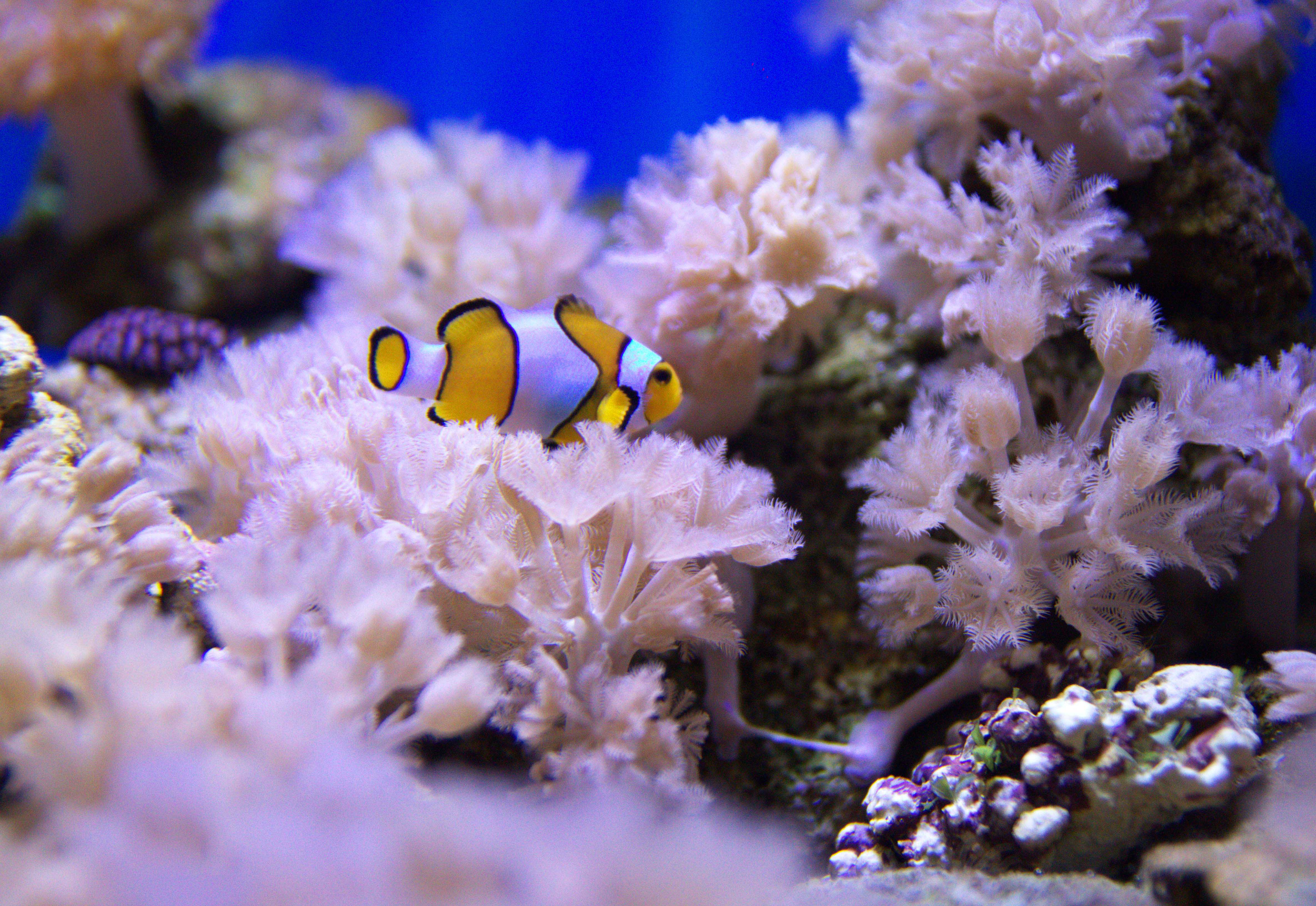 A yellow Clown Fish